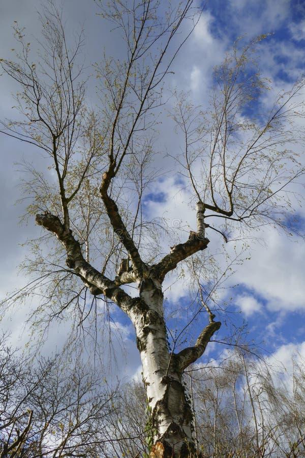 Abedul, árbol con las ramas del atajo y deseos foto de archivo libre de regalías