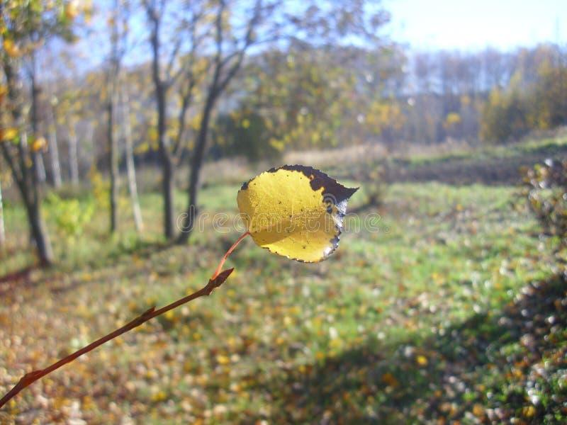Abedul blanco con las hojas amarillas imagen de archivo libre de regalías