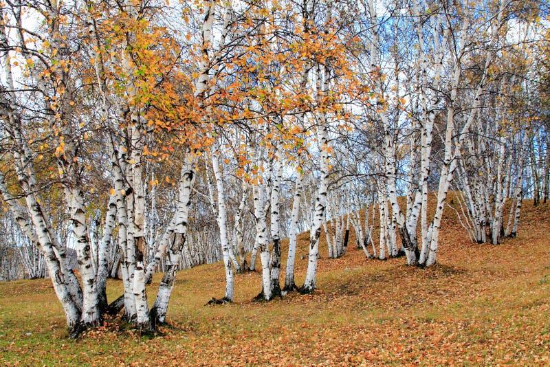 Abedul blanco del otoño fotografía de archivo