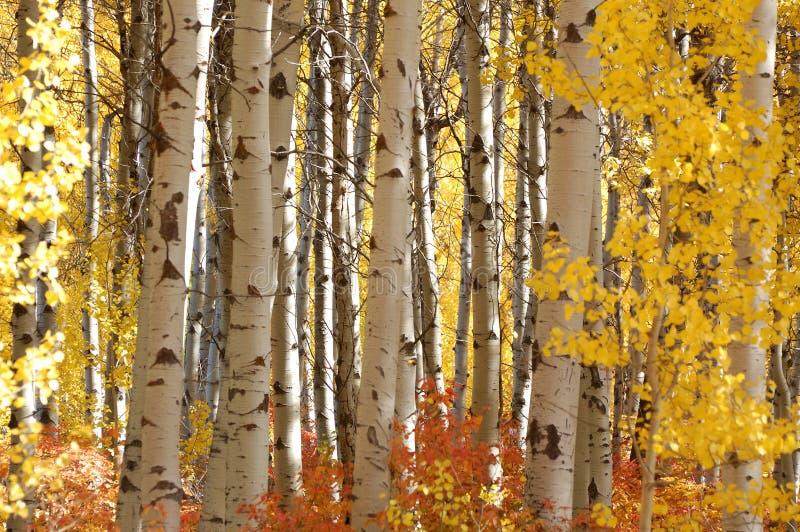 Abedul blanco en gloria del otoño imagenes de archivo