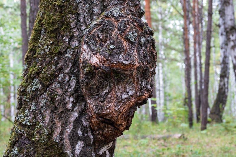 Abedul Capa en el tronco de un árbol que crece en el bosque, el crecimiento en la madera bajo la forma de persona foto de archivo