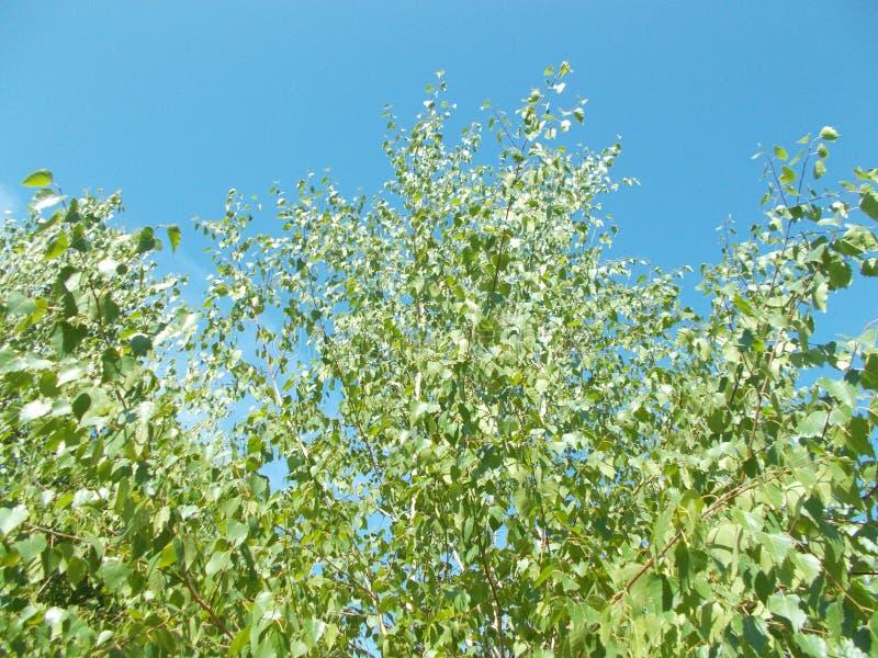 Abedul contra el cielo azul foto de archivo libre de regalías