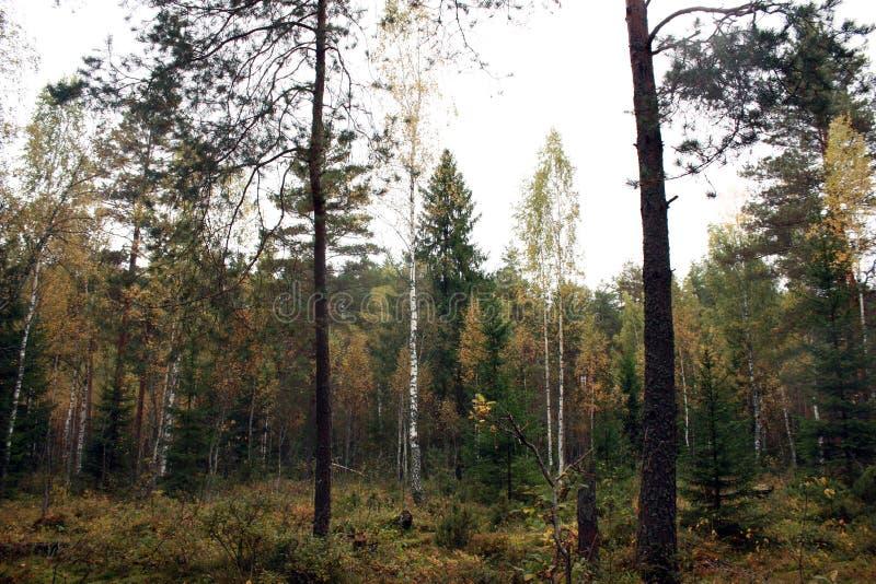 Abedul de los árboles del otoño del bosque del otoño imagenes de archivo