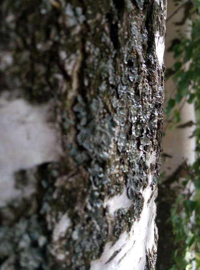 Abedul del árbol fotografía de archivo libre de regalías