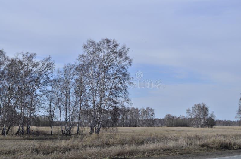 Abedul en primavera en un campo espacioso foto de archivo libre de regalías