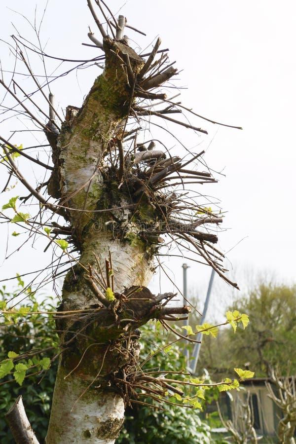 Abedul viejo, parte posterior cortada con muchos nuevos deseos, ramas del árbol foto de archivo libre de regalías