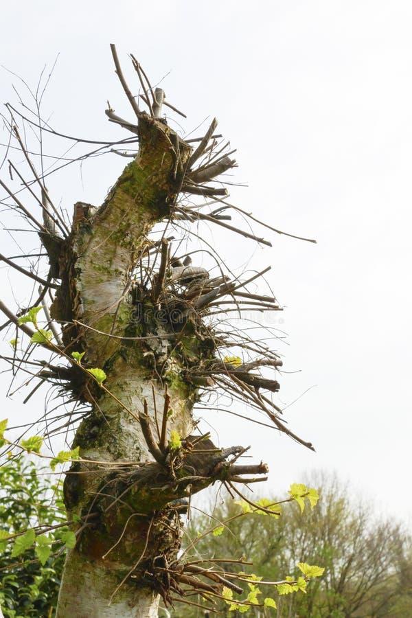 Abedul viejo, parte posterior cortada con muchos nuevos deseos, ramas del ?rbol foto de archivo