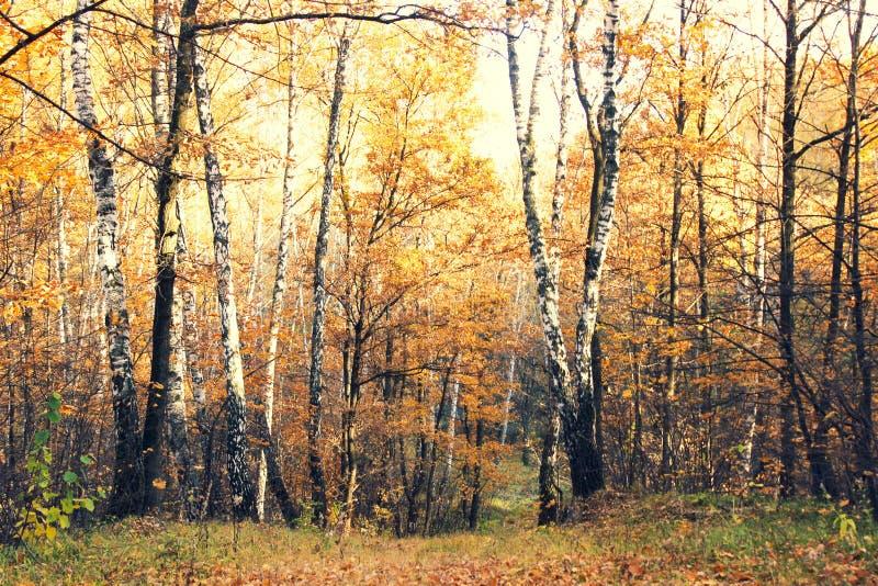 Abedules blancos con las hojas amarillas imagenes de archivo