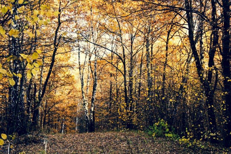 Abedules blancos con las hojas amarillas imagen de archivo libre de regalías