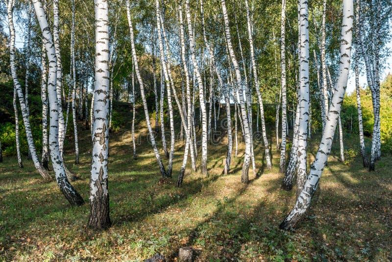 Abedules blancos en el bosque fotografía de archivo