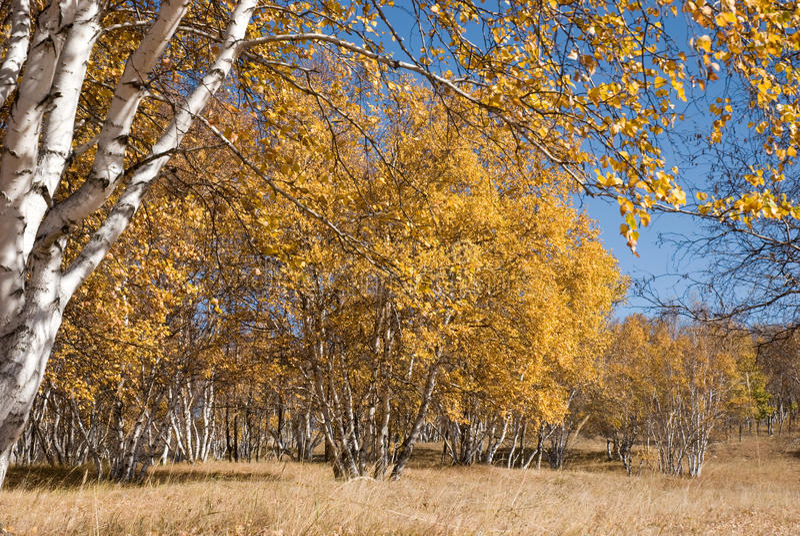 Abedules de oro bajo el cielo azul fotos de archivo