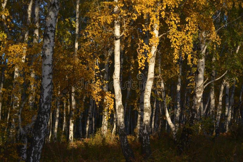 Abedules en la puesta del sol, Siberia, Rusia, Irkutsk del otoño, septiembre de 2017, horizontalmente fotografía de archivo