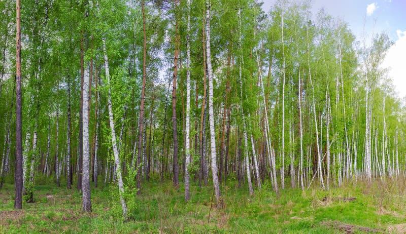 Abedules y pinos al borde del bosque de la primavera imagenes de archivo