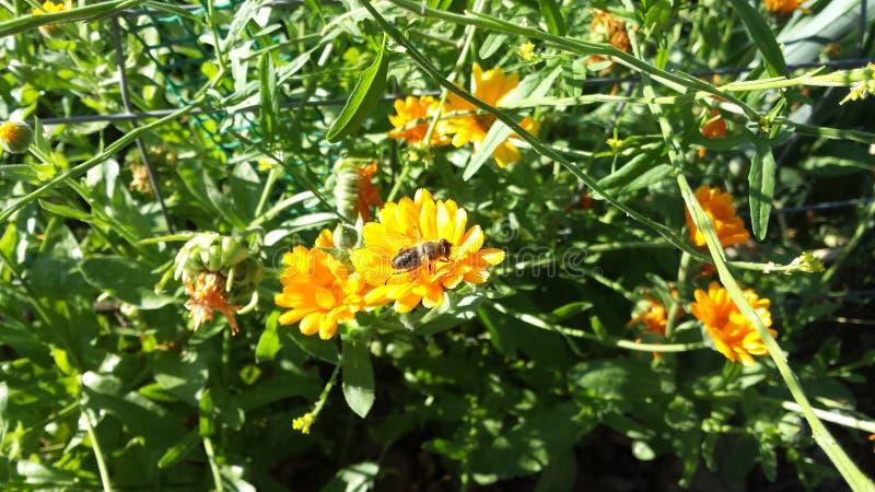 Abeille étée perché sur une fleur image stock