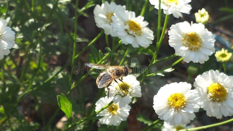 Abeille étée perché sur une fleur photo libre de droits