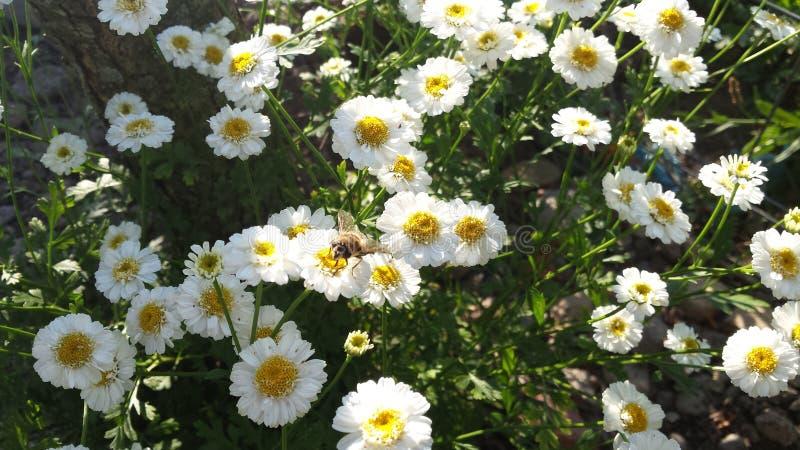 Abeille étée perché sur une fleur photos libres de droits