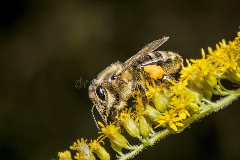 abeille photo stock