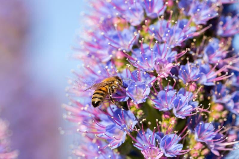 Abeille (Anthophila) sur la fierté de la fleur de la Madère (Echium Candicans) photographie stock libre de droits