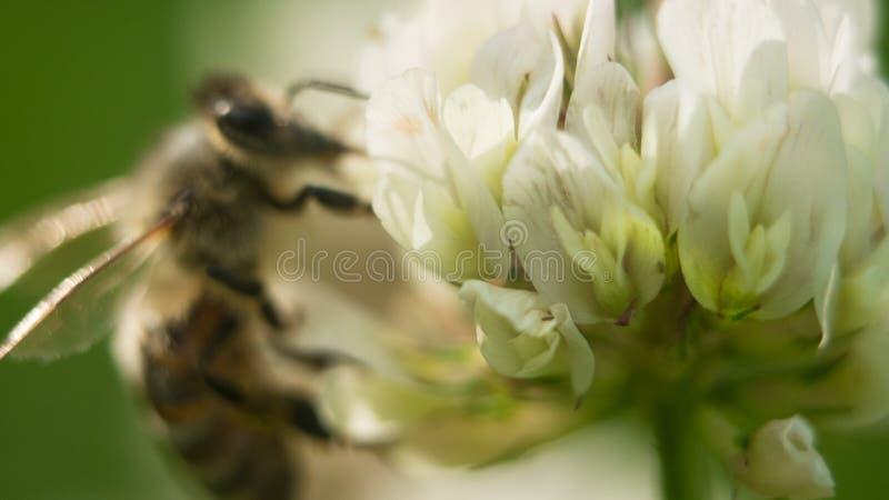 Abeille au travail sur la fleur de tréfle blanc rassemblant le trèfle de feuilles du pollen A quatre image libre de droits