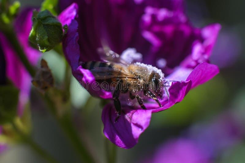 Abeille complètement du pollen sphérique blanc en fleur pourpre photo libre de droits