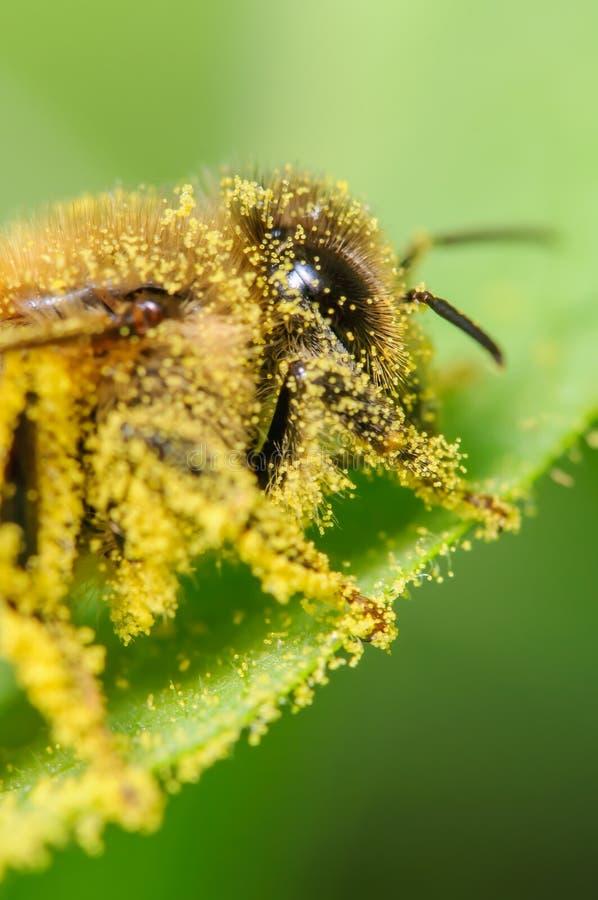 Abeille couverte dans le pollen image libre de droits