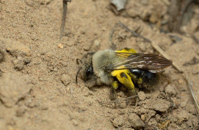 abeille d'extraction soutenue par gris, vaga d'Andrema creusant en sable images libres de droits