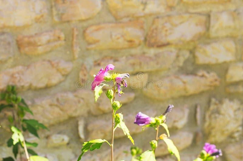 Abeille d'isolement sur une fleur fuchsia de mauve - Malvaceae image stock