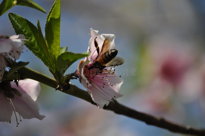 Abeille dans l'action photo libre de droits