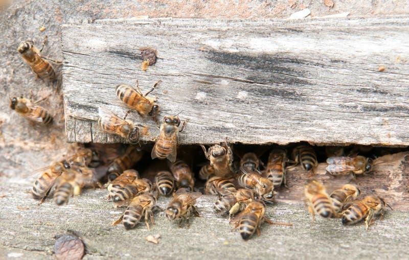 Abeille dans la ruche photographie stock