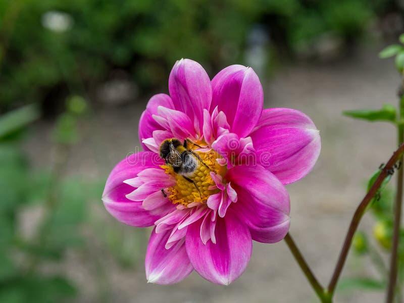 Abeille dans le collecteur de fleur photos libres de droits