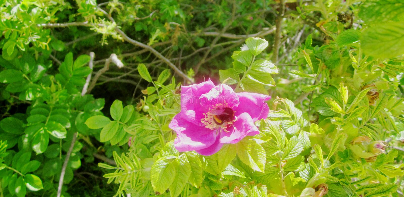 Abeille dans une rose rose 1 images stock