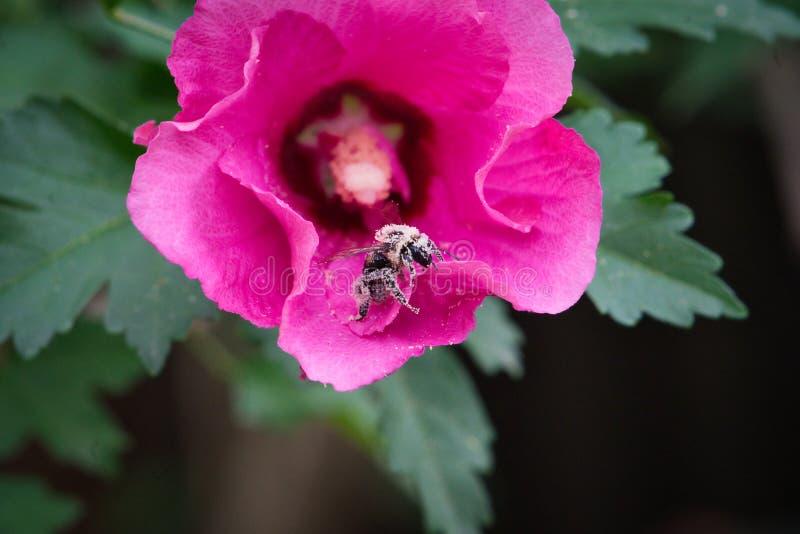 Abeille de charpentier couverte dans le pollen regardant en arrière tout en marchant sur une rose de fleur de Sharon photo stock