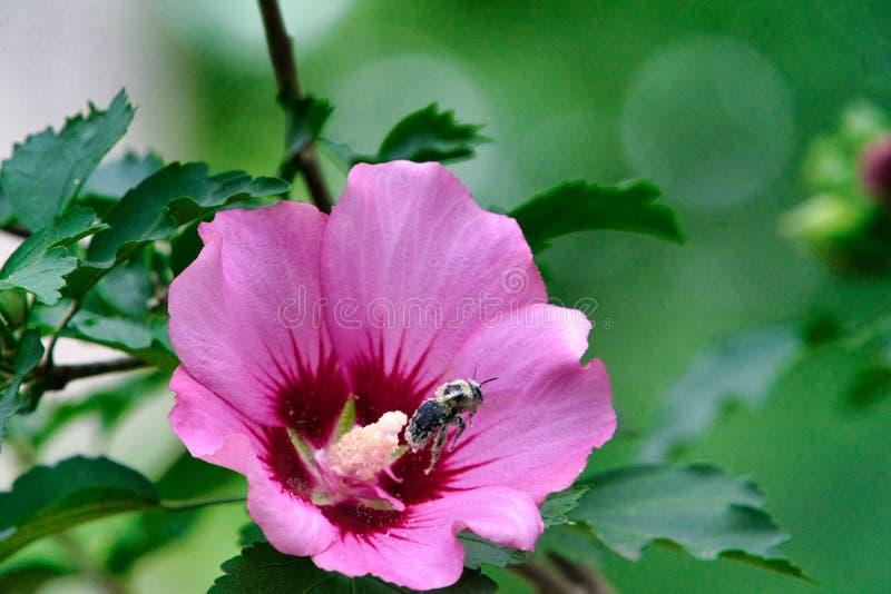 Abeille de charpentier laissant une rose de fleur de Sharon après le rassemblement du pollen image stock