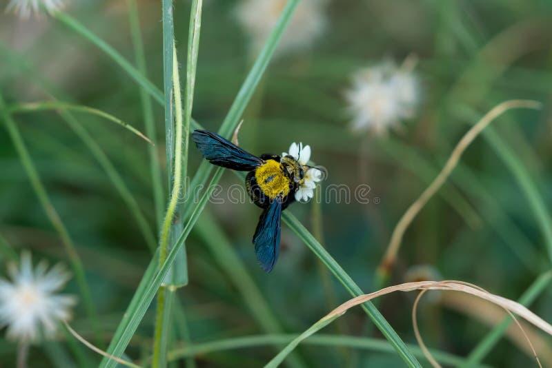 Abeille de charpentier sur une fleur photo stock