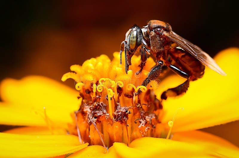 abeille de fleur image libre de droits