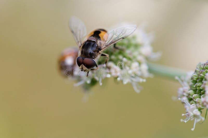 Abeille de Hoverfly Eristalis sur la vue de macro d'usine de fleur sauvage Profondeur de zone, orientation sélectrice photo libre de droits
