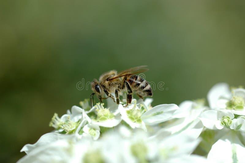 Abeille de miel images libres de droits
