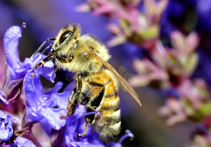 Abeille de miel photo libre de droits