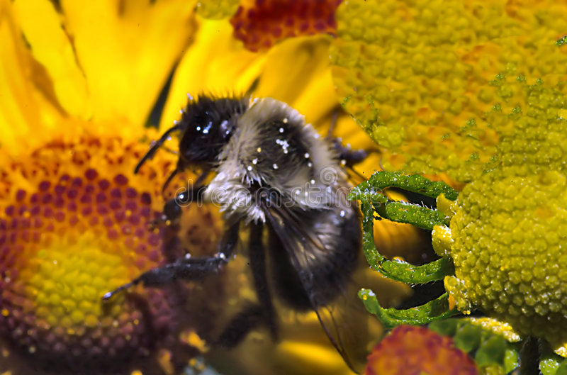 Abeille de miel de jardin image stock