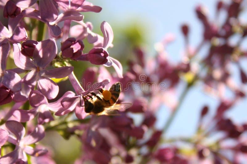 Abeille de miel de la vie de ressort photo stock