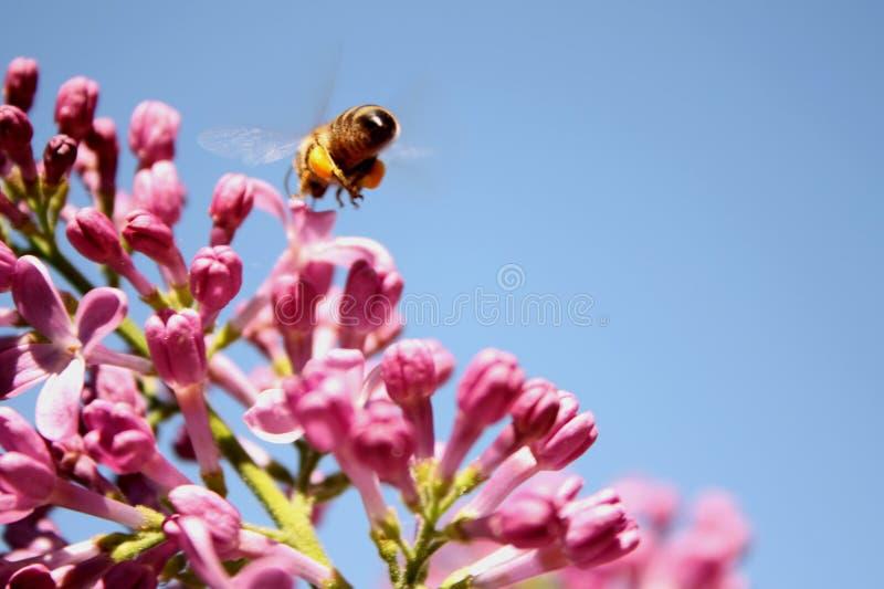 Abeille de miel de la vie de ressort image libre de droits