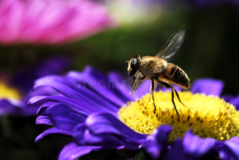 Abeille de miel en vol images libres de droits