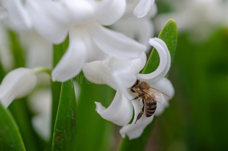 Abeille de miel et jacinthe blanche photographie stock