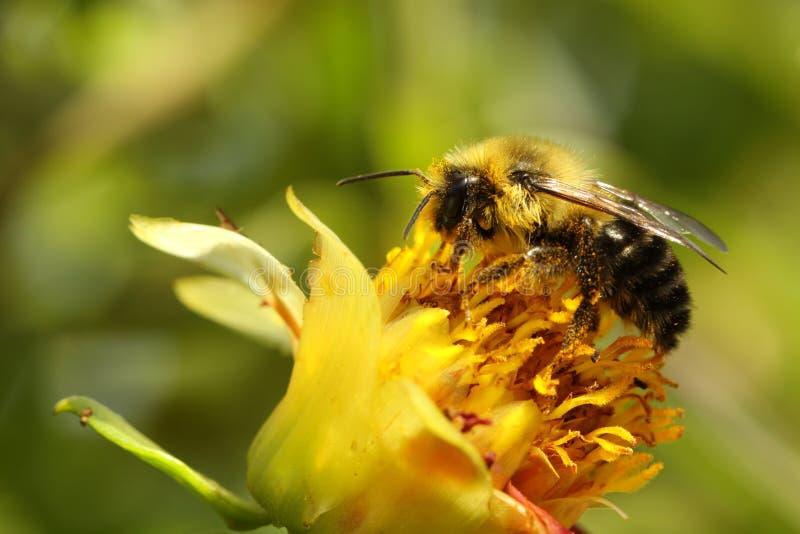Abeille de miel (mellifera d'api) photographie stock libre de droits