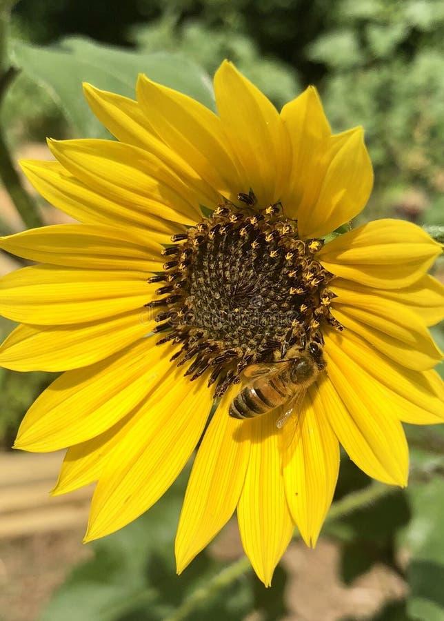 Abeille de miel recueillant le pollen photos stock