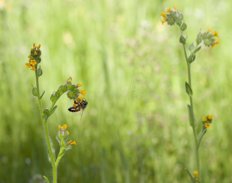 Wildflower de Fiddleneck d'abeille photo stock