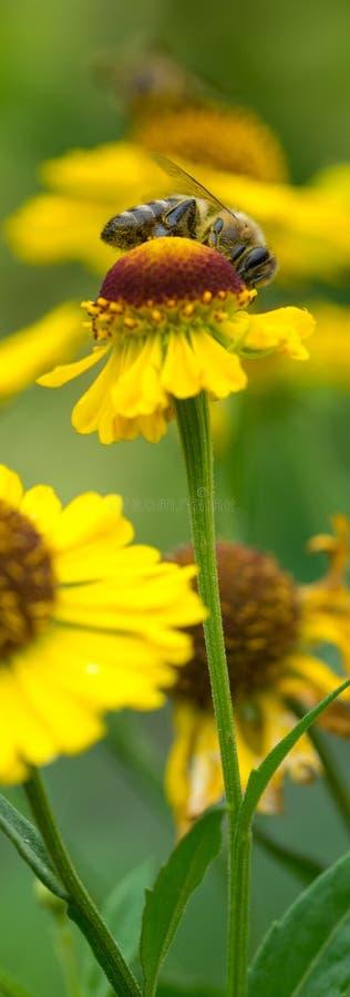 Abeille de miel se reposant sur la fleur jaune dans le jour d'été photographie stock