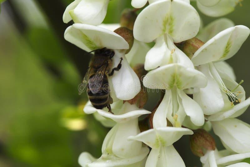 Abeille de miel sur l'acacia images stock