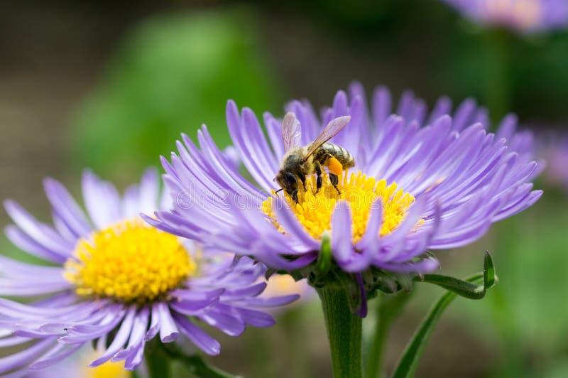 Abeille de miel sur l'aster bleu photo stock