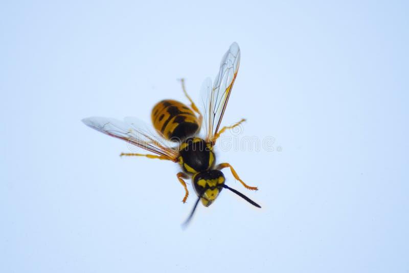 abeille de miel sur la fenêtre photographie stock libre de droits